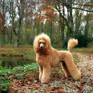 represented dog photographers/alice van kempen/standing autumn leaves lake water river poodle