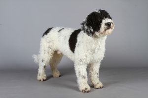 SPANISH WATER DOG (NONCC)