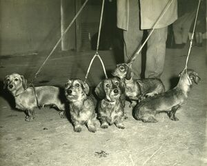 Vintage Dog Showing